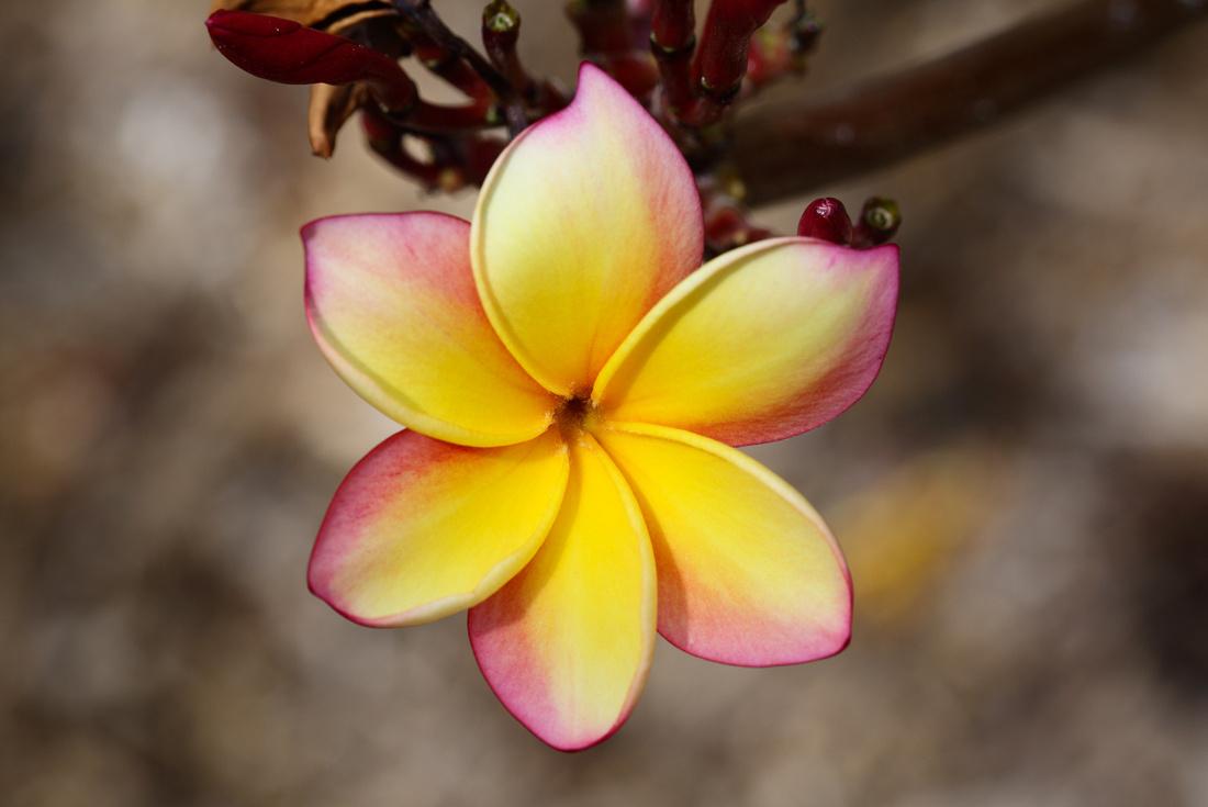 plumeria_yellowpink_001