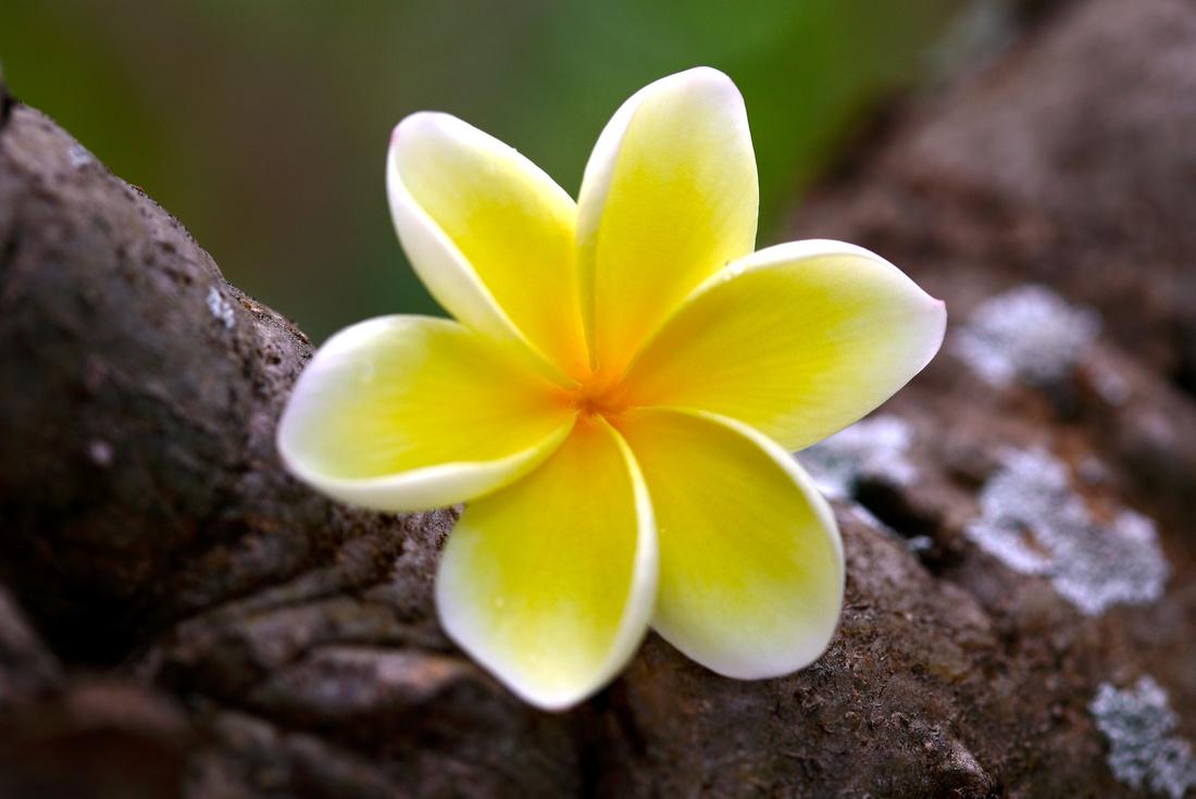 plumeria_yellow_030