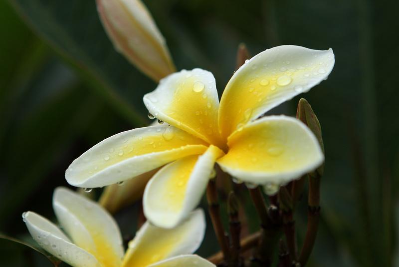 plumeria_yellow_051
