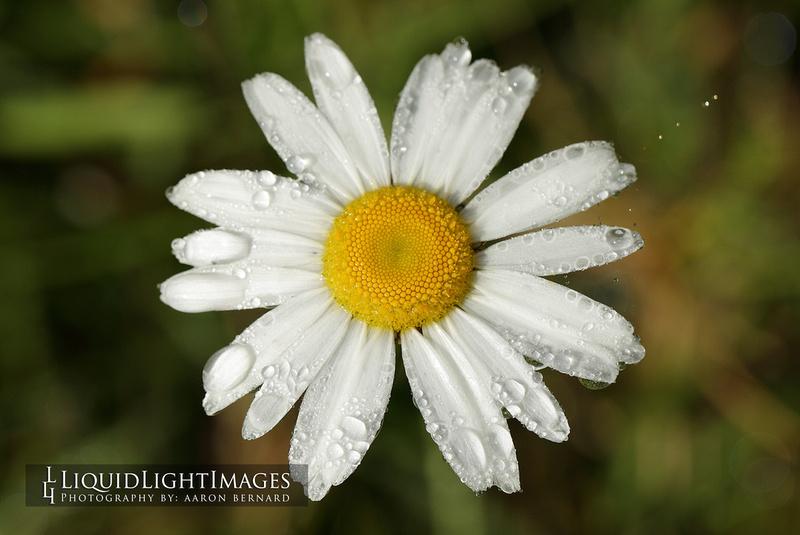daisy2016_001