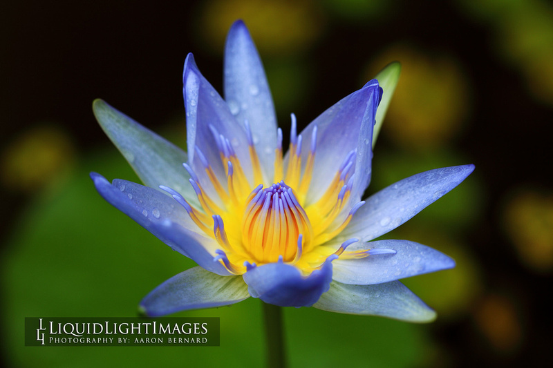 lily2016_008